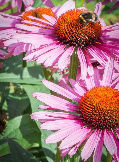 Humla och blomma