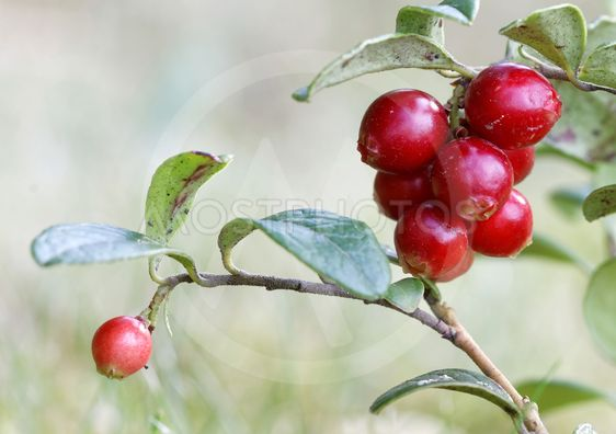Closeup of a branch of lingonberry
