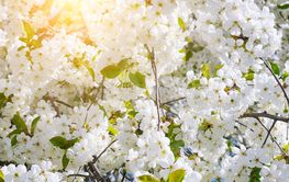 Beautifully blossoming tree branch. Cherry - Sakura and...