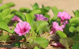 Beach Morning Glory (Ipomoea) flower. Thailand
