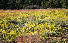 Fält med blommande gulmåra på Öland