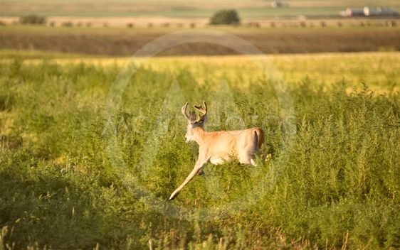 Hjorte i et felt