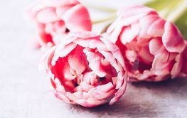 Pastel pink tulips on shabby chic background