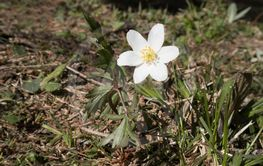 White windflower (anemone nemorosa) outdoor