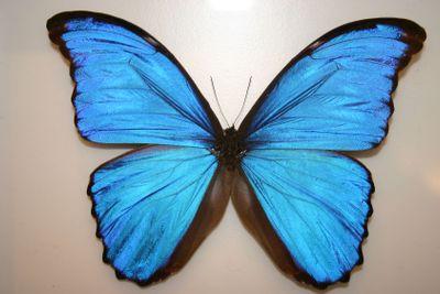 Butterfky Blue