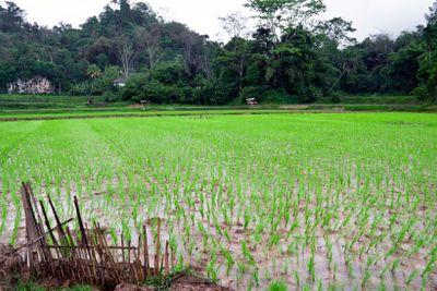 Indonesian rice plantation