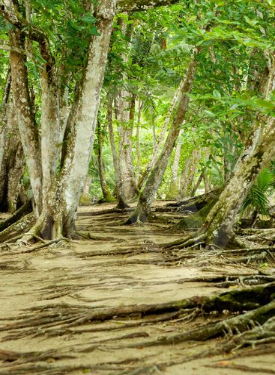 Silk Cotton Trees
