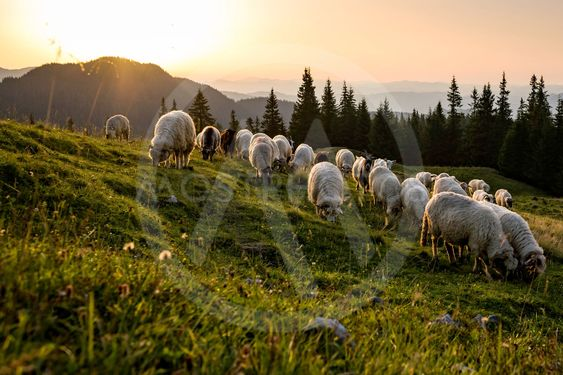 Herd of sheep grazing a pasture in Romania