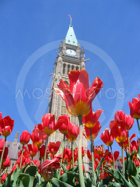 Canadian Parliament Peace Tower with red tulips