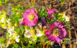 lenten rose is blooming in spring