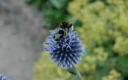 Flower with two bumblebees