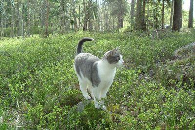 Katt i blåbärsris