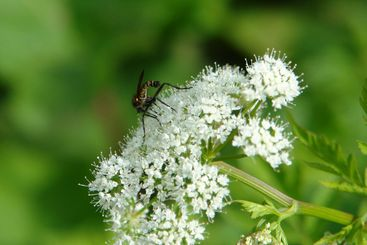 Insect on umbel