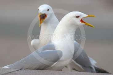 Closeup of two seagulls singing during springtime in city