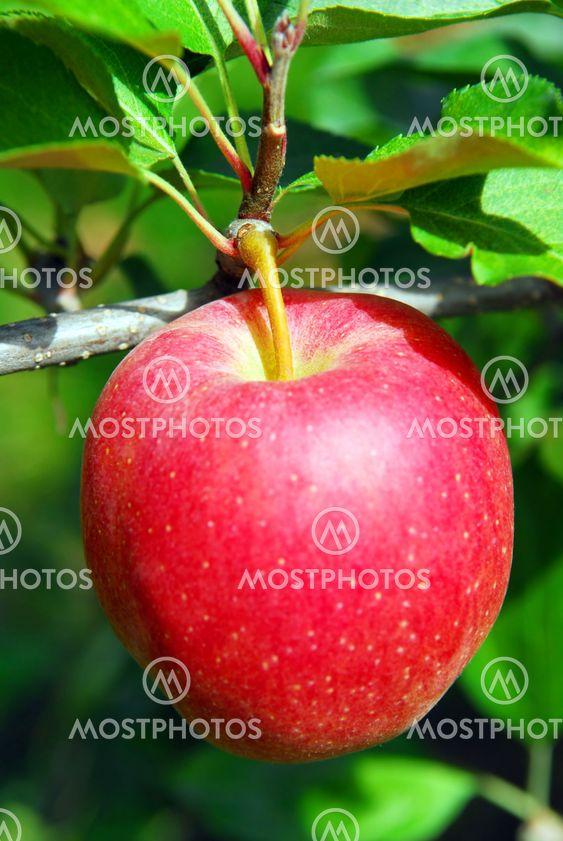 Apple på ett träd