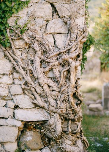 Perennial ivy root rolls on a stone wall in the old town...