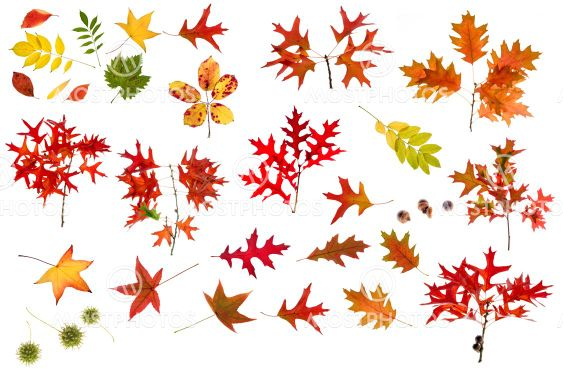 big autumn leaves collection