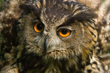 Angry looking eagle owl