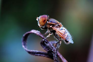 Eristalis tenax on withered plant