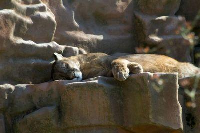 Sleeping Cougar