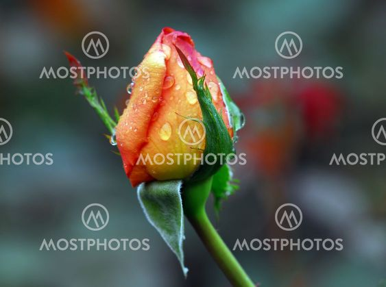 Orange rose's bud with droplets