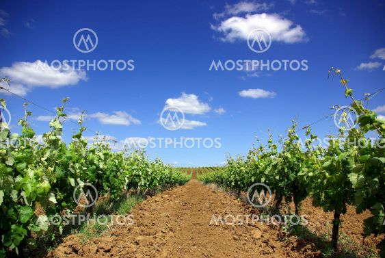 grapevines in the spring