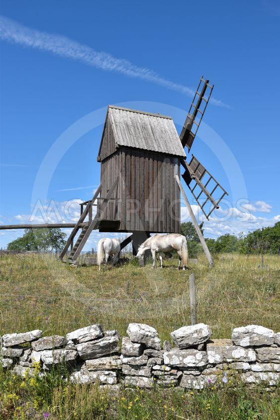 Vita hästar betar vid en traditionell väderkvarn på Öland