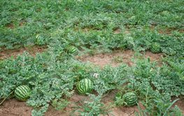 Striped watermelons ripening on the field