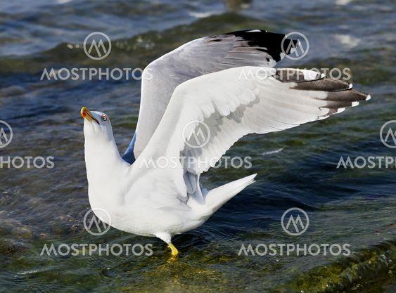 Beautiful seagull sea