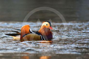 A colourful male mandarin duck. (Aix galericulata)