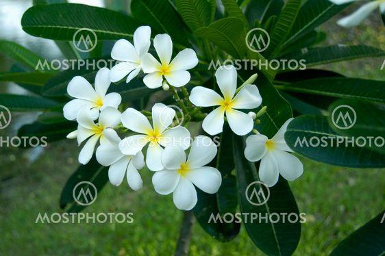 thailandske blomster