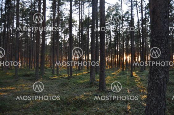 Mystic metsät