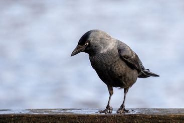 Black crow standing on wooden board