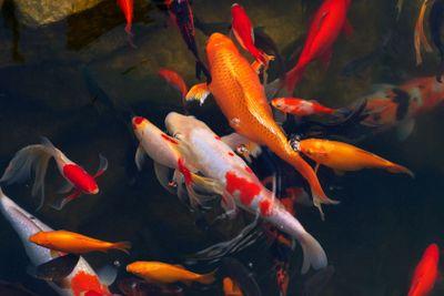 Koi Carps Fish Japanese swimming (Cyprinus carpio)...