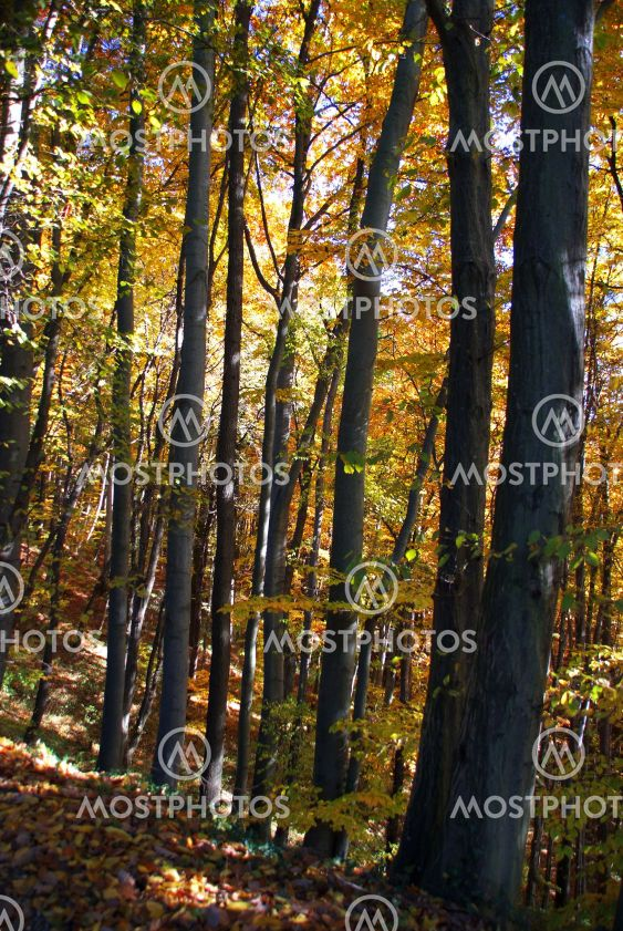 Wald Herbst Baum | wood autumn tree