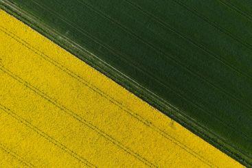 Yellow canola plantation and green wheat field