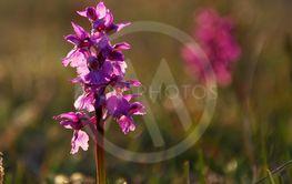 Orkiden Sankt Pers Nycklar, Öland
