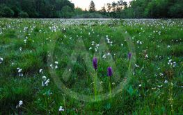 Morgon i en öländsk orkidemosse