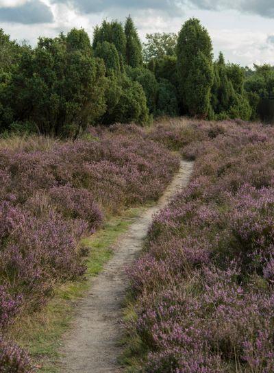 Heather field in Hoge Veluwe (Netherlands)
