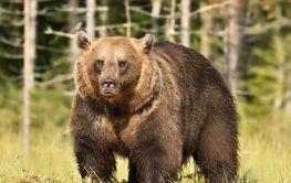 big maler brown bear serious look