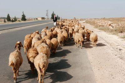 Syrian Sheep flock following shepherd