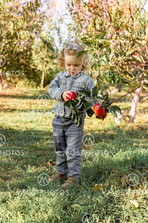 Cute little girl child picking ripe organic red apples...