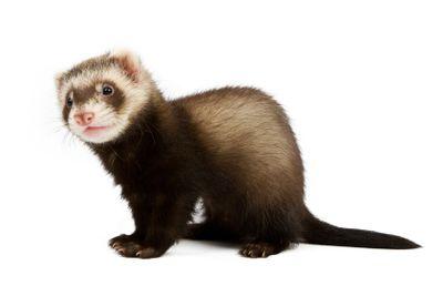 Ferret sitting