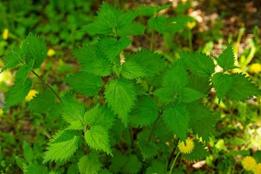 A background of bright green nettle leaves