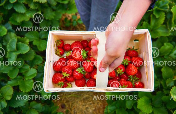 Child holds a wooden basket with strawberries in his...