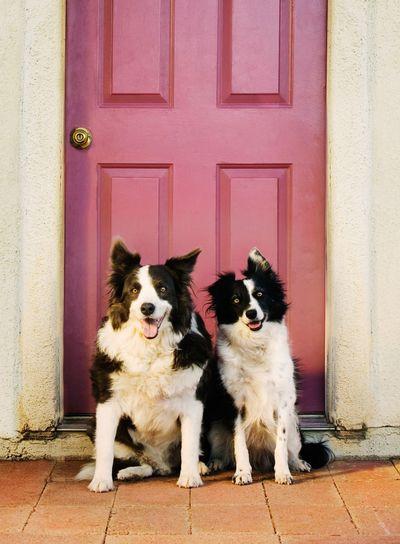 Border Collies in Front of a Purple Door