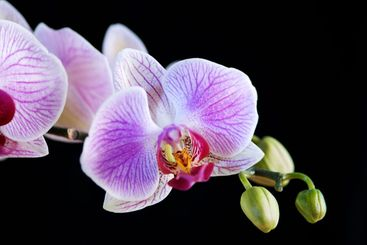 White and pink orchid (Phalaenopsis) isolated