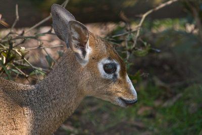 Kirk's dik-dik- small antelope