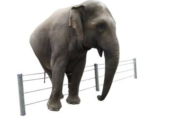 Elephant before a fence on a white background