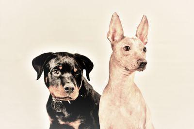 Rottweiler och Xolo